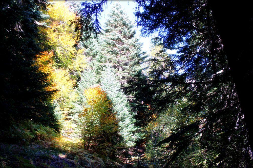 Ketenli yaylası orman