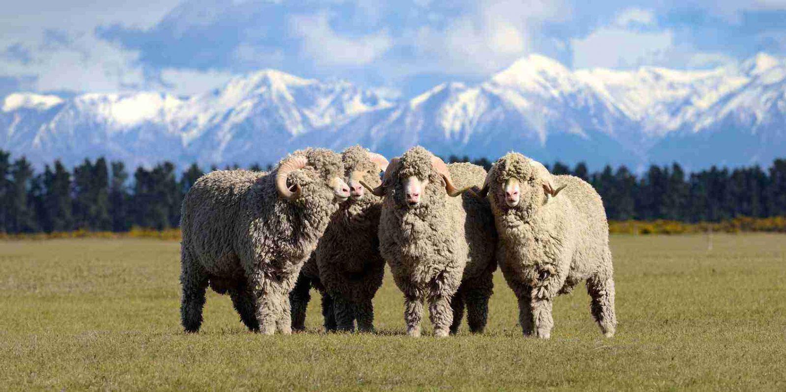 merinos koyunları