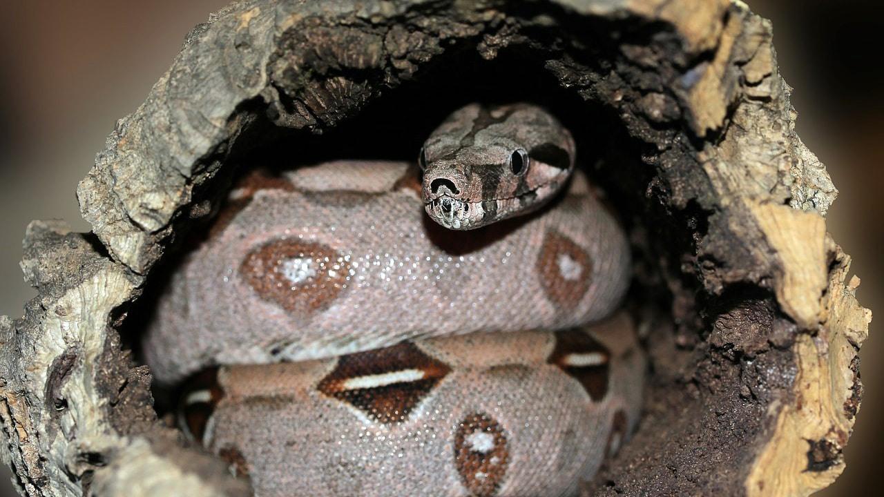 kütük içindeki yılan