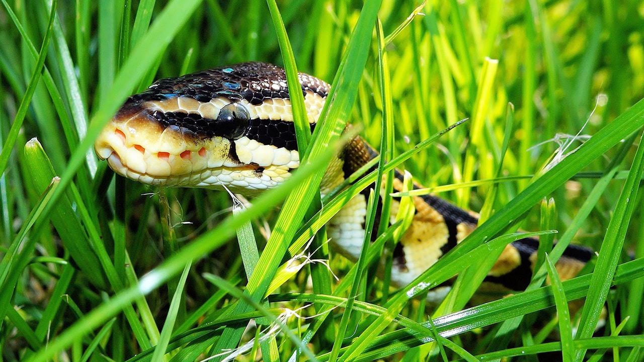 otların arasındaki yılan